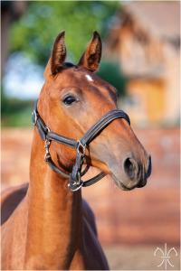 Photo cheval a vendre PALOMA DE LA GESSE